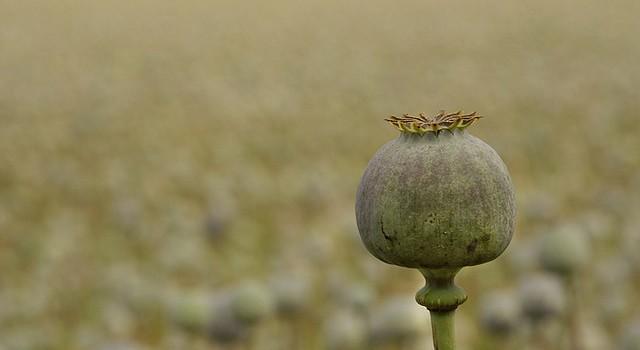 Opium In Field