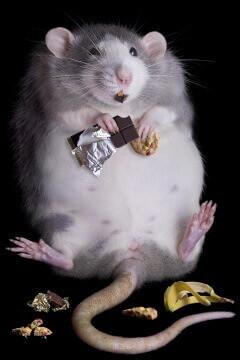 Addicted Rat